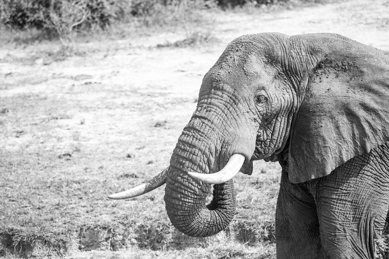 ElephantB&W