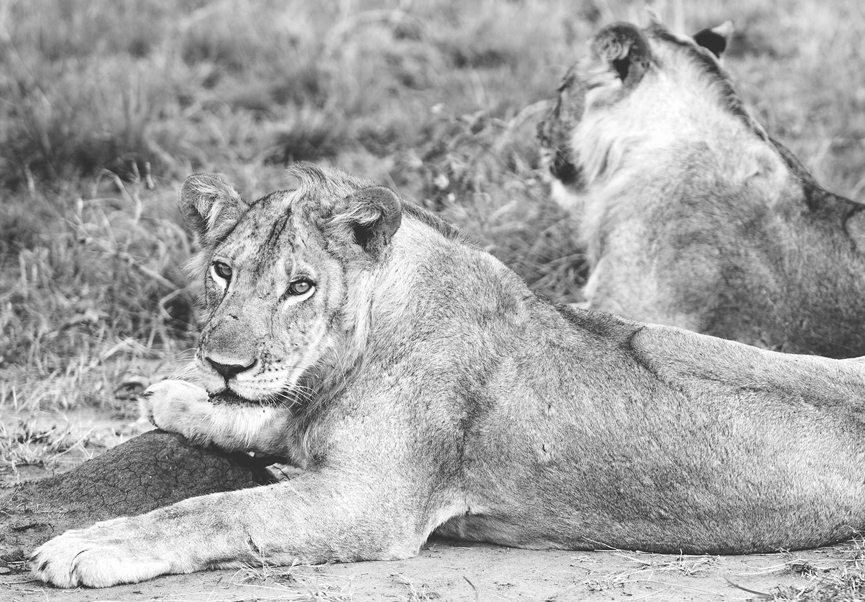 LionB&W