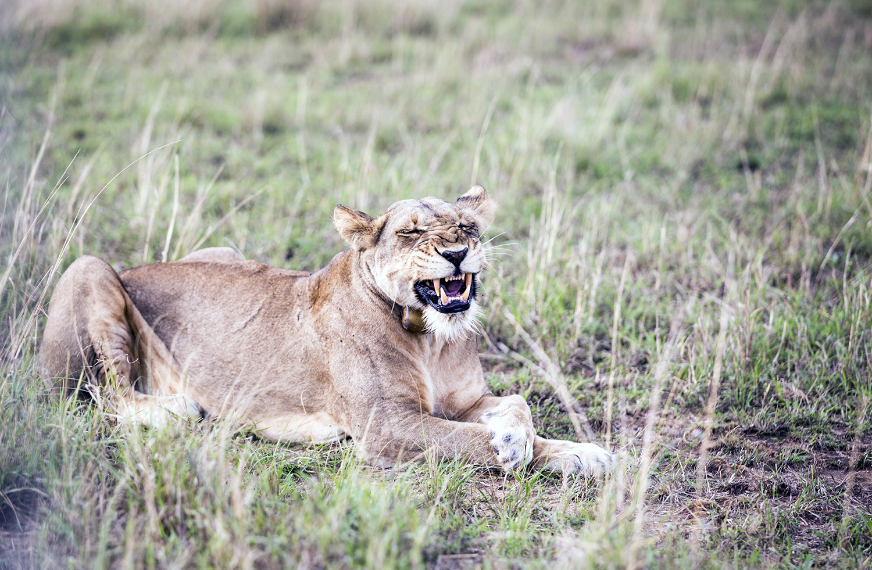 LionGrowl